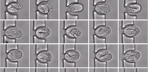 Parallel imaging of C. elegans embryonic development at single-embryo resolution.