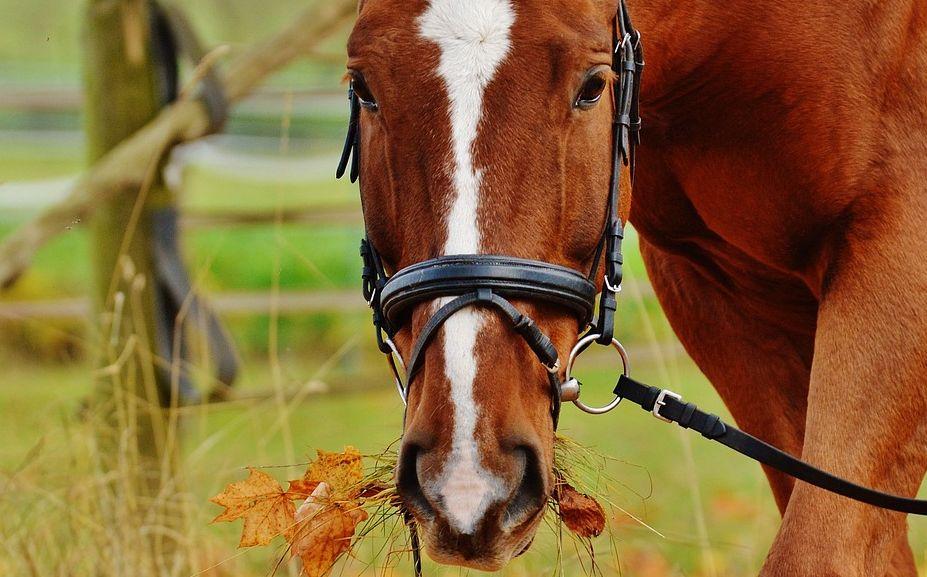 Omento Pferd